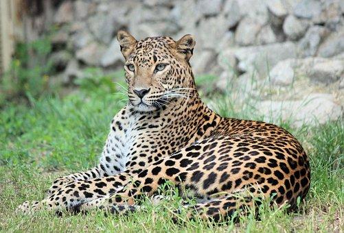 Leopard, Panther, Pardál, Beast, Feline, Carnivore