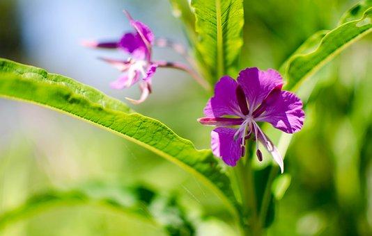 Chamaenerion Angustifolium, Nature, Flower, Fireweed