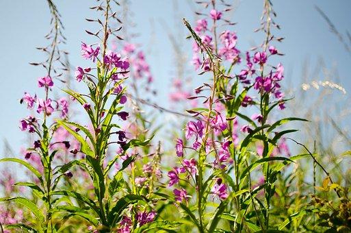 Chamaenerion Angustifolium, Flower, Nature, Plant