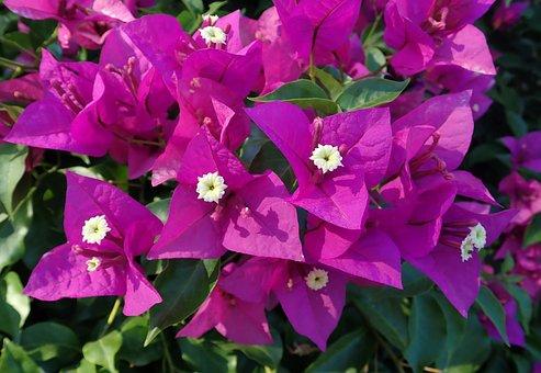 Flowers, Bouganvillea, Climber, Shrub, Garden, Nature