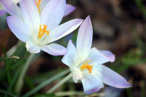 Crocus, Flowers, Frühlingsanfang, Walk In The Park