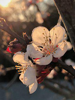 Apricot Flowers, Apricot, Tree, Flowers, Bloom