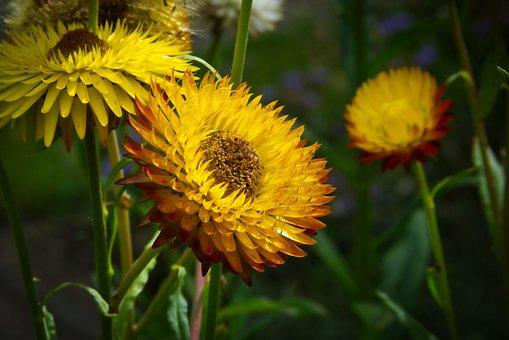 Straw Flowers, Flowers, Yellow, Trockenblume, Close Up
