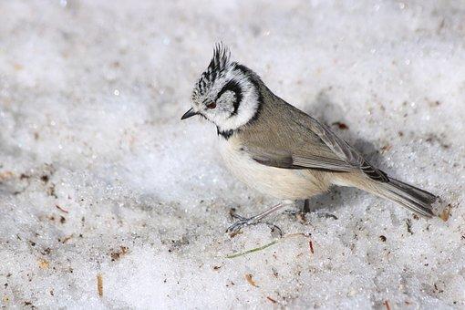 Crested Tit, Bird, Animal, Winter, Garden, Animal World