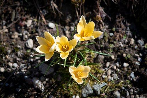 Crocus, Spring Flowers, Yellow, Flowers, Spring, Garden