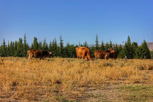 Cow, Nature, Animal, Grassland, Agriculture, Chan, Farm