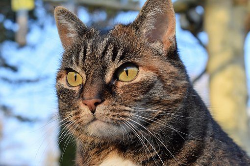 Cat, Mackerel, View, Focused, Watch, Pet, Domestic Cat