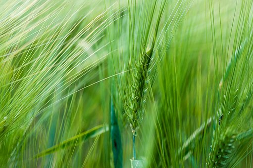 Wheat, Spring, Nature, Plant, Green, Bloom, Macro