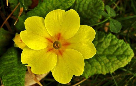 Cowslip, Spring, Yellow, Macro, Primrose, Plant, Nature