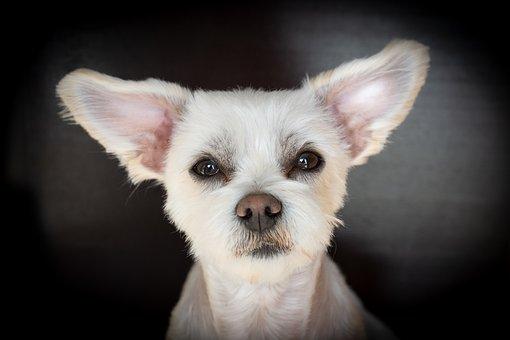 Dog, White, Hybrid, Maltese-havanese, Animal, Pet