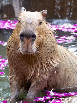 Zoo, Capybara, Animal, Mammals, My, Natural, Cute
