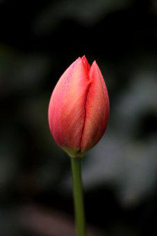 Tulip, Red, Simplicity, Bulb, Button, Nascent