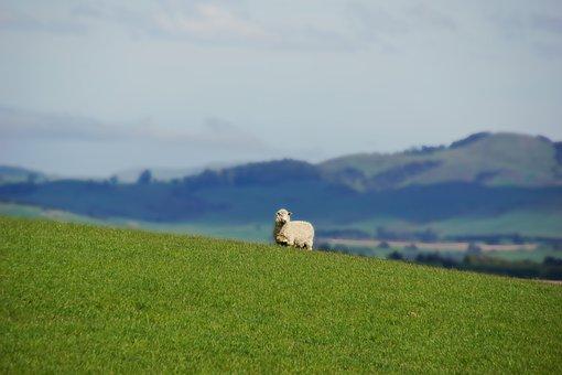 Sheep, Animal, Nature, Newzealand, Outdoors, Landscape