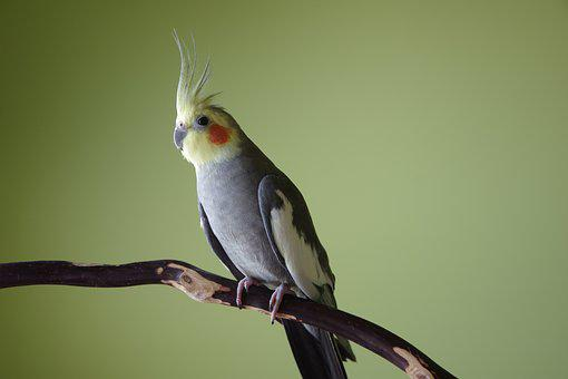 Cockatiel, Bird, Crest, Avian, Perch, Parrot