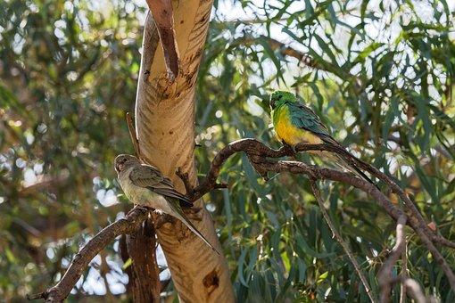 Parrot, Red-rumped Parrot, Australian, Male, Female