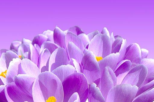 Crocus, Flowers, Spring, Nature, Purple, Plant, Violet