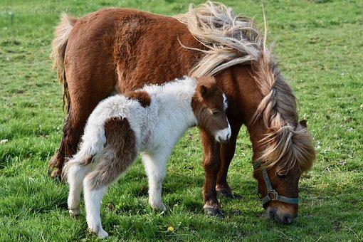 Shetland Pony, Baby Foal Shetland, Shetland Pony Jarod