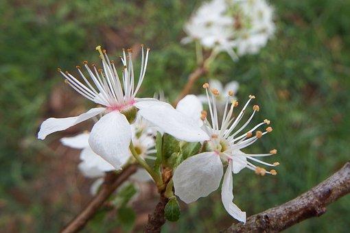 Mirabelle Plum Blossom, Flowers, Blossom, Spring
