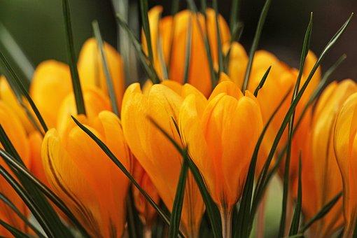 Crocus, Frühlingsblüher, Spring, Plant, Spring Flower