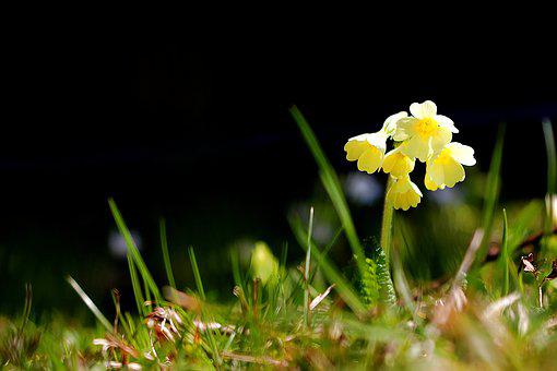 Cowslip, Spring, Nature, Close Up, Yellow