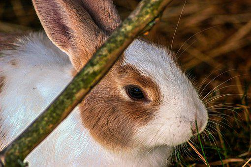 Rabbit, Hare, Close Up, Stall, Hay, Easter, Cute