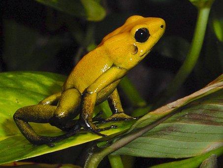 Amphibians, Poison Frog, Frog, Terrarium