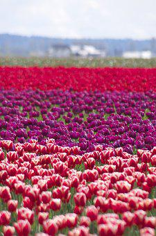 Layers, Tulips, Spring, Life, Colors, Planted, Bloom