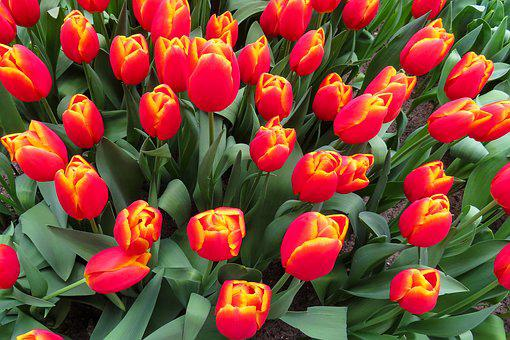 Nature, Flowers, Blossom, Bloom, Tulips, Spring