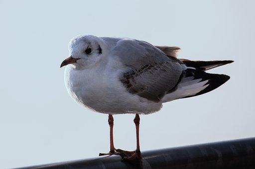 Seagull, Bird, Animal, Animal World, Water Bird, Sit
