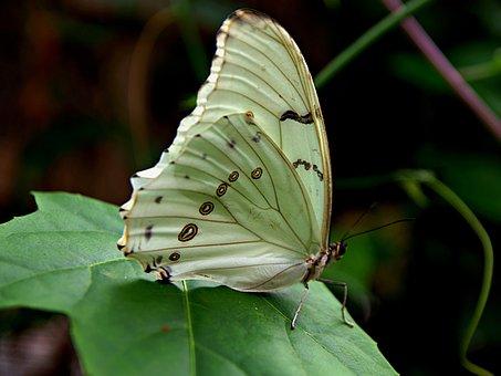 Butterfly, Butterflies, White, Green Leaf, Wing