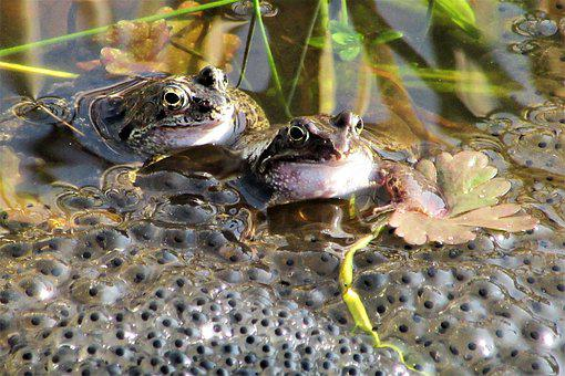 Frog, Mate, Spring, Funny, Love, Amphibians, Two, Pond
