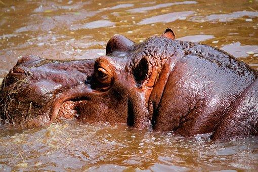 Hippo, Amphibious, Mud, Swamp, Water, Animal, Mammal