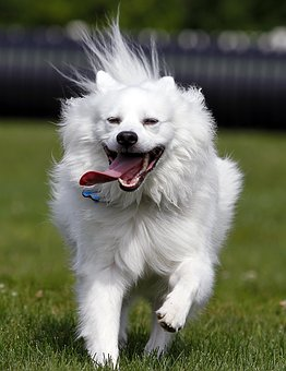 Dog, American Eskimo, Pet, Animal, Cute, White, Running