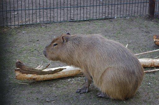 Capybara, Zoo, Mammal, Rodent, Nature, Animal World