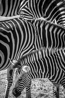 Zebra, Zoo, Animals, Stripes, Black And White