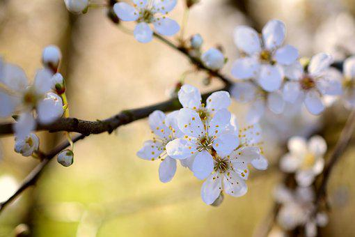 Tree Blossoms, White Flowers, Spring, Bloom, White