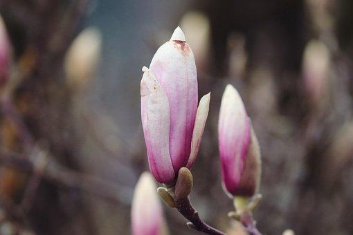 Magnolia, Bud, Spring, Pink, Branch, Blossom, Bloom