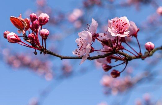Ornamental Cherry, Blossom, Bloom, Plant, Branch, Bud