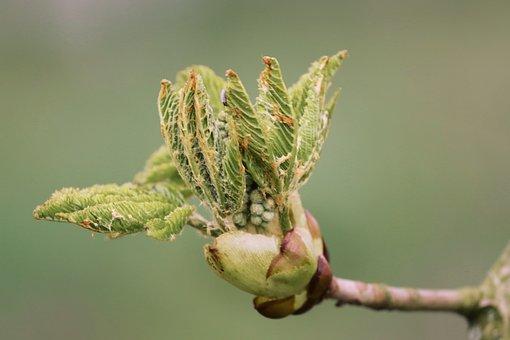 Bud, Chestnut, Leaf Bud, Leaf, Breaking Up, Grow, Young