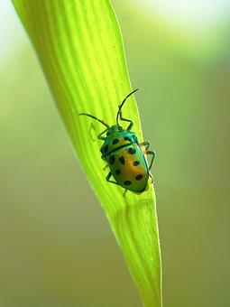 Kerala, India, Beetle, Green, Shield, Bug, Colorful