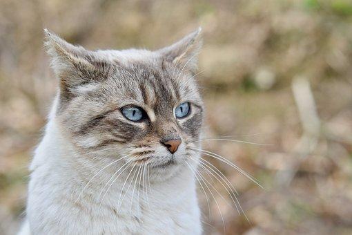 Cat, Pussy, Cat Blue Eyes, Blue Eyes, Mustache Cat