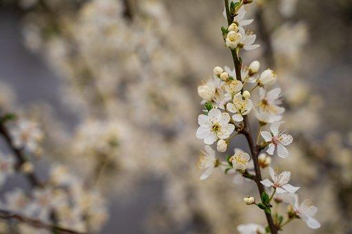 Cherry Blossom, Bloom, Tree, Cherry Tree, Spring