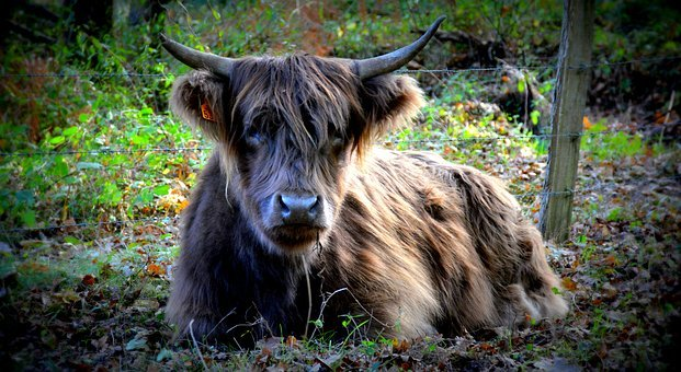 Cow, Nature, Forest, Agriculture, Livestock, Pastures