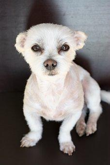 Dog, White, Small, Maltese-havanese, Hybrid, Dog Look