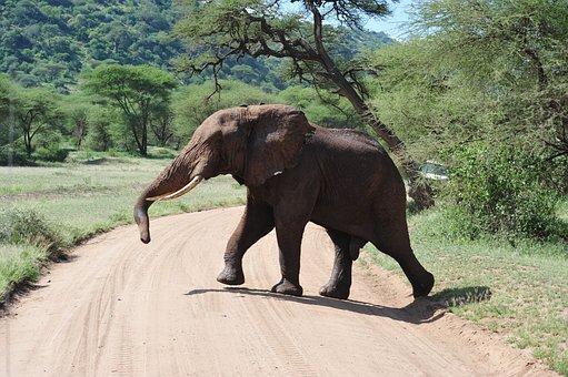 Elephant, Africa, Safari, Tan, Tanzania
