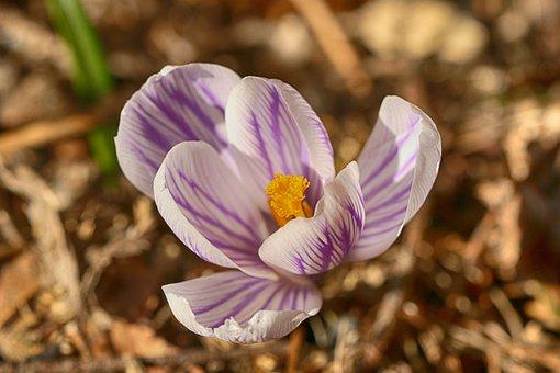 Crocus, Nature, Flower, Spring, Blossom