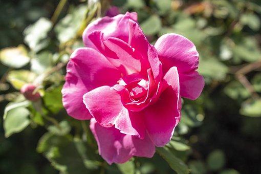 Flower, Flowers, Roses, Rosa, Nature, Spring, Flora