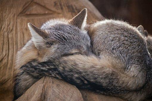 Steppe Fox, Fuchs, Mammal, Animal, Animal World