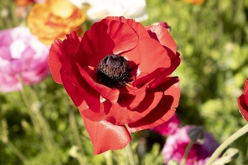 Flower, Red, Pri, Flowers, Nature, Garden, Plant, Poppy