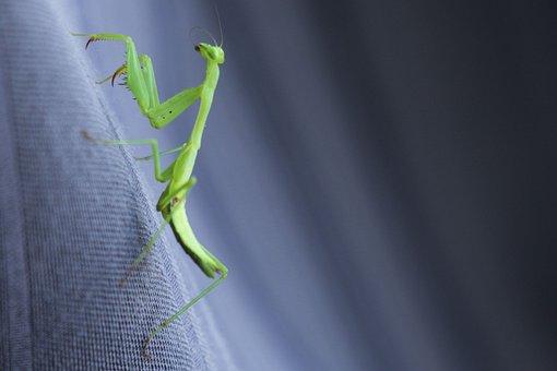 Praying Mantis, Green, Insect, Small, Bug